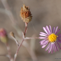 corethrogyne-filafinifolia_common-sandaster