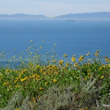 encelia-californica-_bush-sunflower-coast