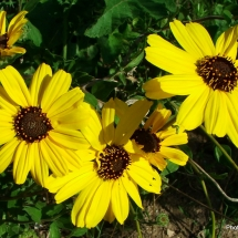 encelia-californica_bush-sunflower