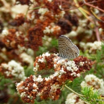 eriogonum-fasciculatum_california-buckwheat-with-marine-blue