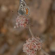 eriogonum-parvifolium_cliff-bukwheat-with-el-segundo-blue