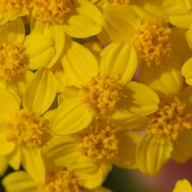eriophyllum-confertiflorum_golden-yarrow-2