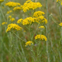 eriophyllum-confertiflorum_golden-yarrow