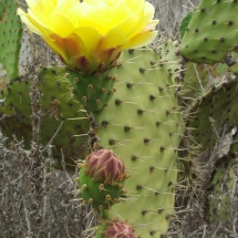 optuntia-littoralis_coast-prickly-pear