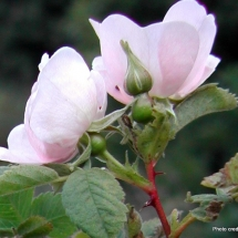 rosa-californica_ca-rose