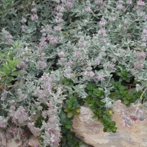 salvia-leucophylla_purple-sage-on-rocks